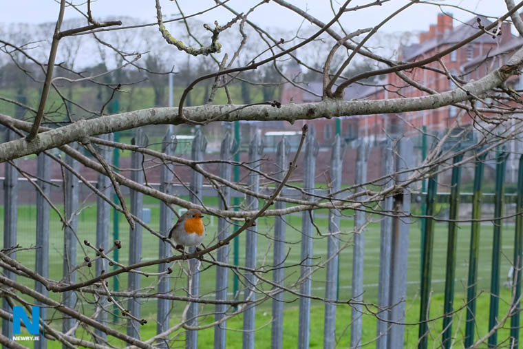 Robins everywhere on the towpath. Photograph: Columba O'Hare/ Newry.ie
