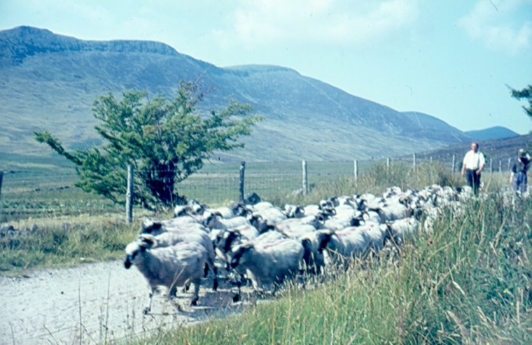 Sheep being driven along a road high in the Mournes in the 1970s. Newry and Mourne Museum Collection